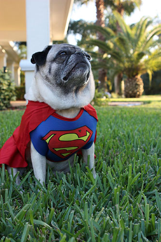 Happy Halloween From The Super Pugs The Pug Blog