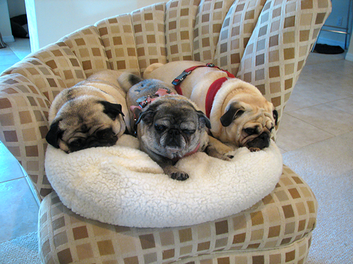 The Pug Blog Tags Dog Bed Owned By Pugs Com