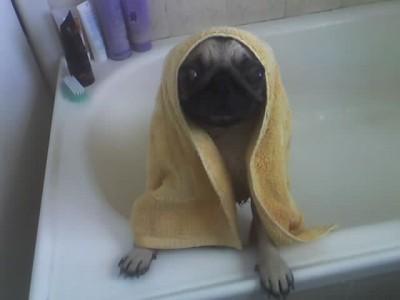 Wet Pug