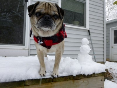 Henry Pug with snowman