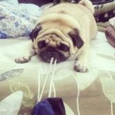 The naughty Pug Bruno