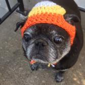 Candy Corn Pug