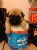 cup -o-pug