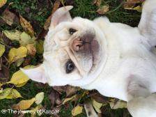 Kaspar the white pug enjoying autumn