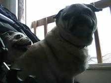 nosey pugs