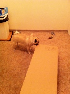 Pug, the Ikea Furniture Pro