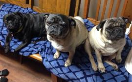Pugs on an electric blanket stay warm