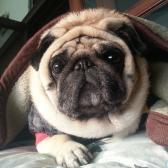 Pug Bruno