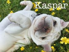 Kaspar the white pug <3 yellow flowers