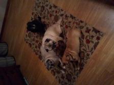 My pug gang