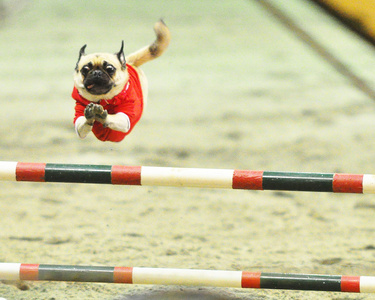Biff the pug doing agility